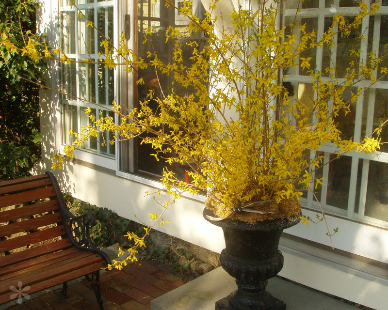 Sidedoorforsythias